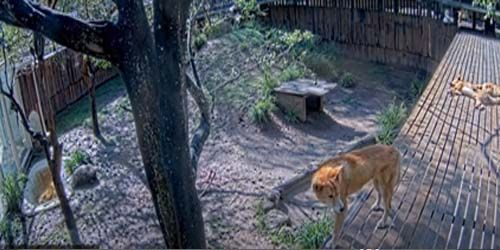 Dingo dogs at the zoo -  live webcam , Victoria Melbourne