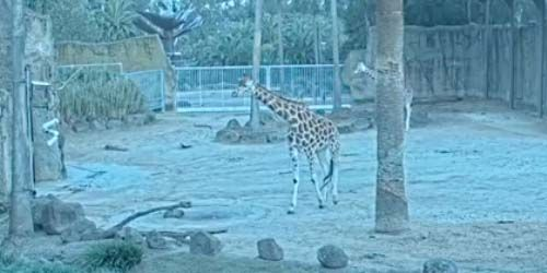Giraffes at the zoo -  live webcam , Victoria Melbourne