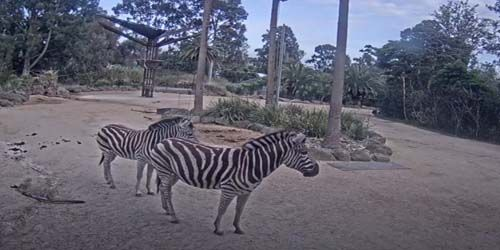 Zebras in the zoo -  live webcam , Victoria Melbourne